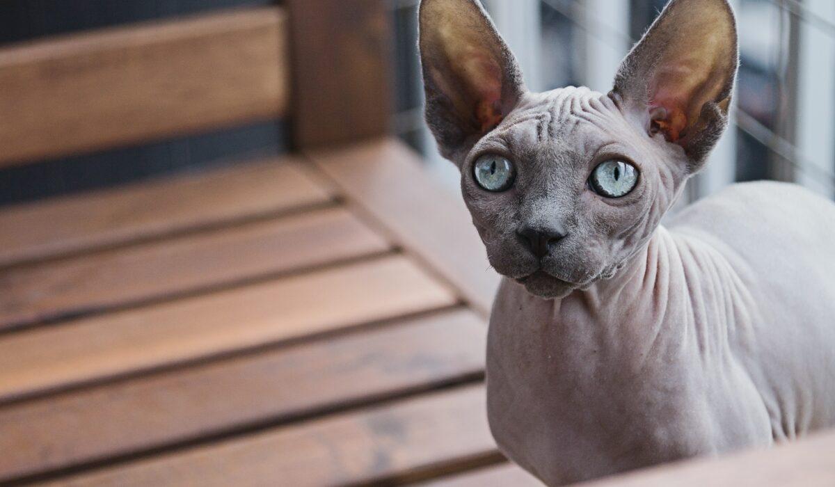 sphynx gatto senza pelo