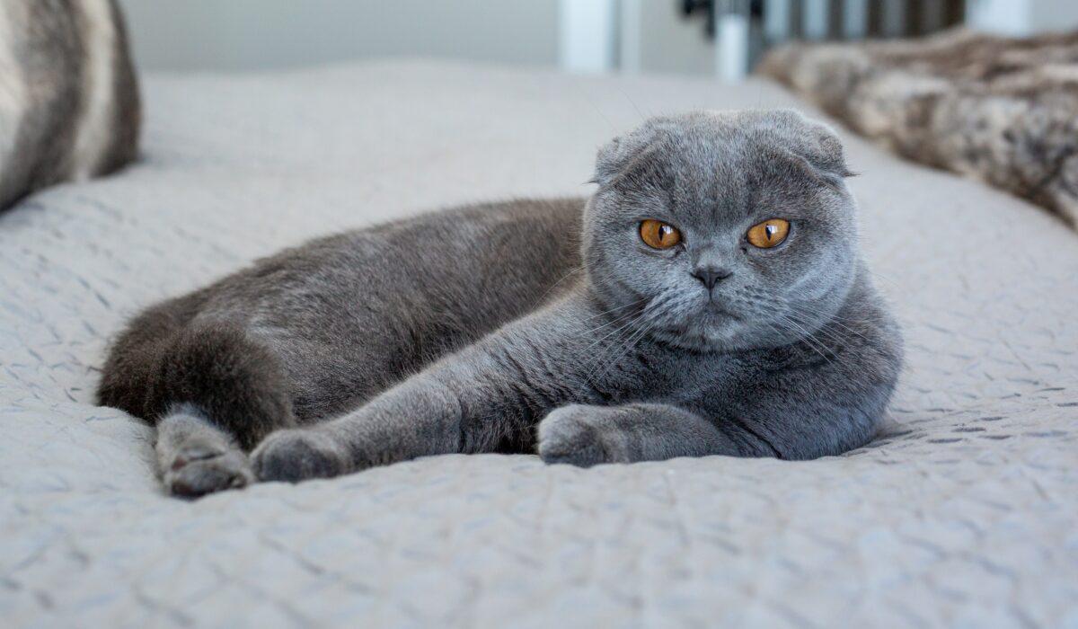gatto scottish fold con orecchie piegate