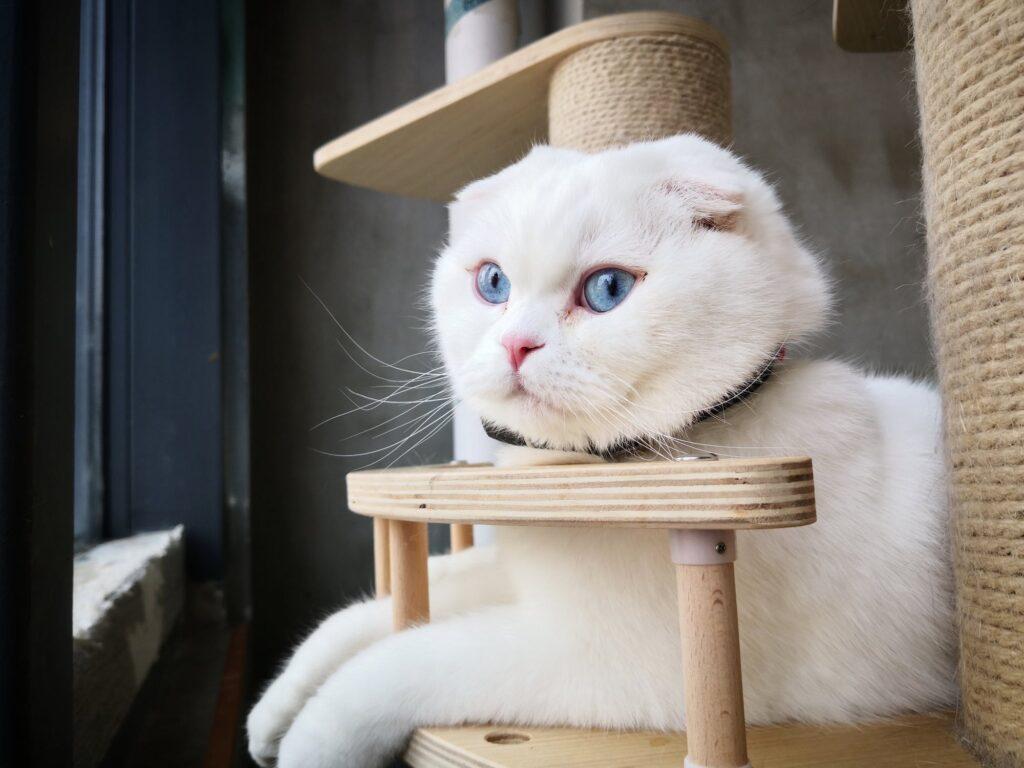scottish fold gatto colori