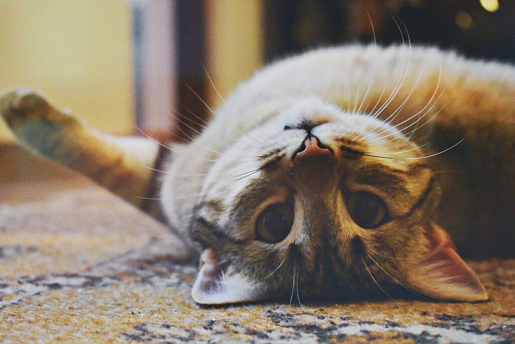 capire i gatti rotolarsi