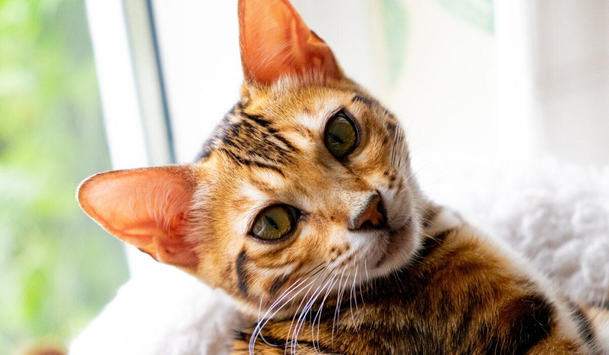 gatto del bengala bengalese leopardato