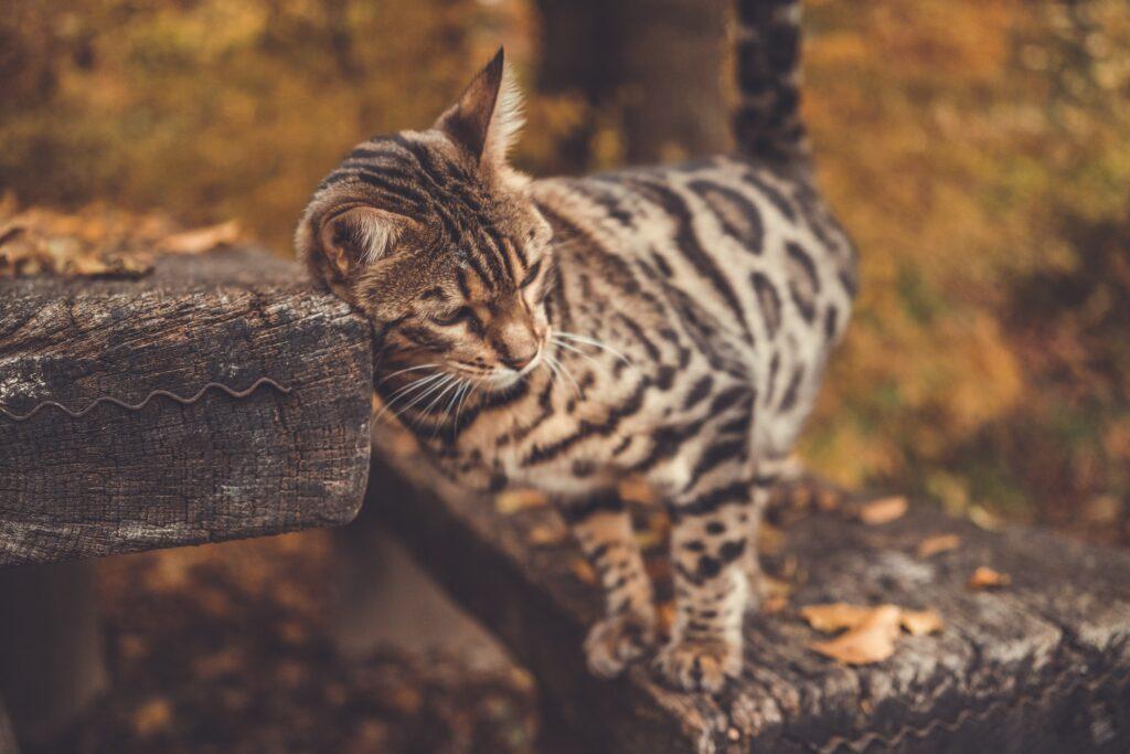 gatto del bengala bengalese