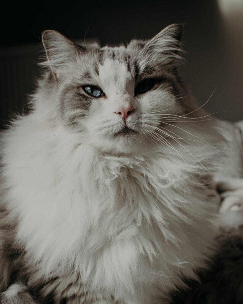 gatto ipoallergenico siberiano